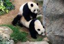 En China pandas se aparean tras 10 años de indiferencia